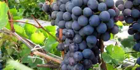 Сорт винограда Агат Донской- описание и рекомендации по посадке и уходу