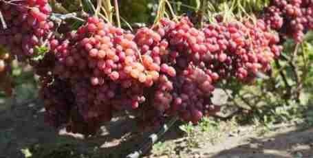 Виноград Велес характеристики, описание и нюансы выращивания сорта