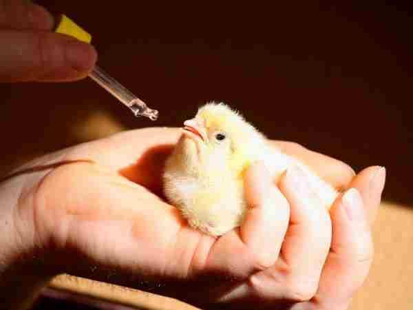 Витамины для цыплят: в первые дни жизни, для роста