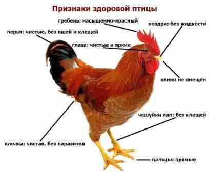 Пуллороз (тиф) – поражает кишечник и другие внутренние органы. В основном характерна для цыплят. Для лечения использую