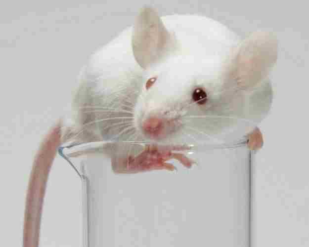 Продолжительность жизни лабораторной мыши – всего три года. Поэтому исследования противоракового действия артемизинина на животных не позволяют спрогнозировать, вернется ли болезнь в отдаленном периоде.