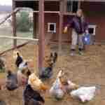 Разведение кур в домашних условиях для начинающих