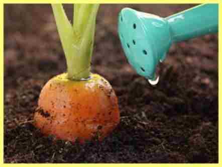 Чем удобрять морковь при посадке