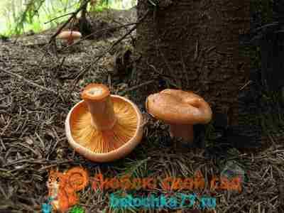 Фото гриба Lactarius deterrimus - Рыжик еловый