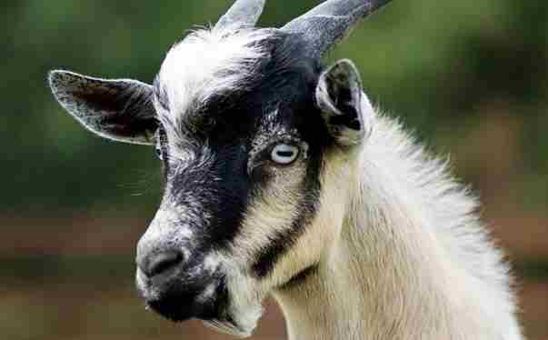 Знаете ли вы, что некоторые виды коз при испуге падают в обморок?