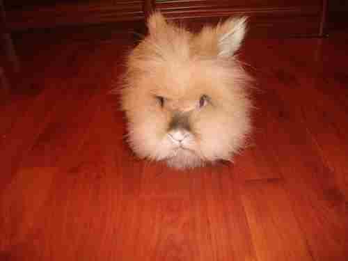 Кролик Львиная головка
