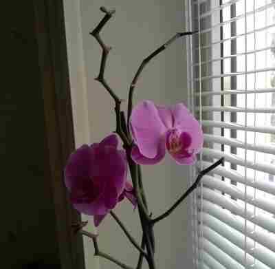 Почему орхидея сбросила цветы