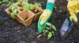 Удобрение при посадке томатов