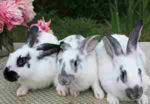 Три кролика породы бабочка
