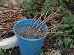 одготовленные черенки нужно сохранить до весеннего сезона. Для этого формируют связки из черенков одинакового сорта и упаковывают их в полиэтилен. Хранят черенки винограда при низкой температуре, котора