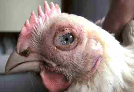 Кератоконъюктивит – возникает при содержании птиц в сильно загрязненных пометом помещениях, поскольку пары аммиака вызывают раздражения глаз, загрязнение перьев и намокание. Лечение – генеральная очистка