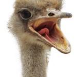 Мясо страуса польза и вред