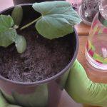 Выращивание рассады огурцов для теплицы в домашних условиях: посадка и уход
