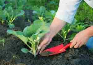 Корневая подкормка растений дрожжами