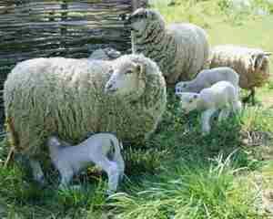 Бараны и овцы - особенности ухода