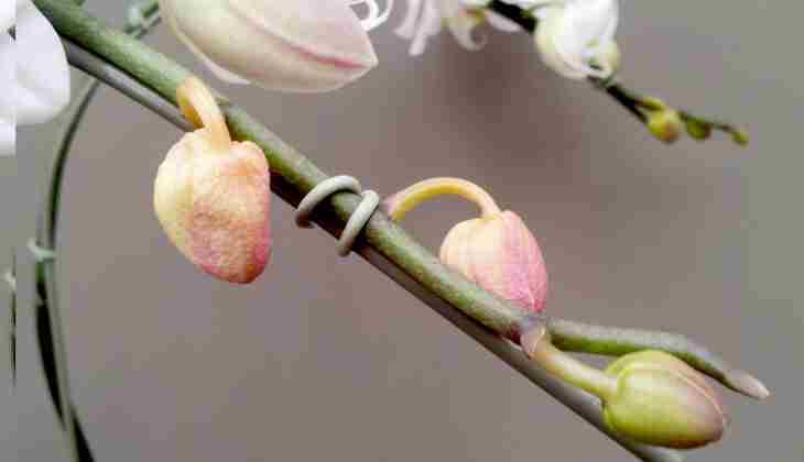 нераспустившиеся цветы на ветке