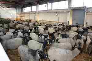 Как выгялят овцы романовской породы