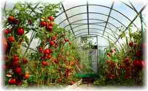 Способы выращивания помидоров
