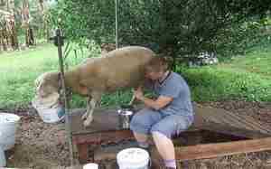 Преимущества содержания овец в домашних условиях