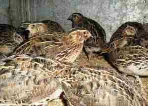 Эстонский перепел - порода яично-мясная