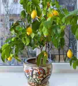Лимон сорта Павловский