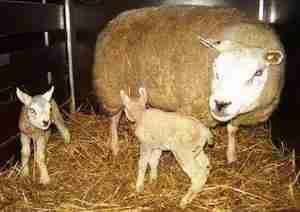 Как правильно ухаживтаь за овцами тексель