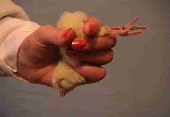 Цыпленок в руках
