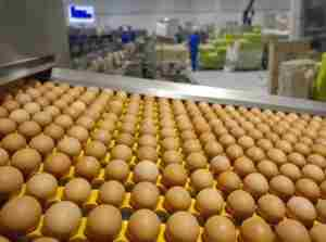 как закладывать яйца в инкубатор