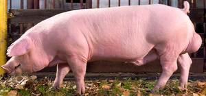 Свиньи Ландрас - уход и кормление