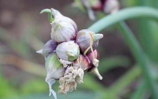 Многоярусный лук выращивание
