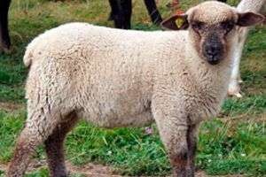 Описание овец Карачаевской породы