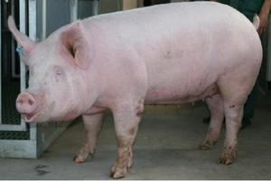 Мясные свиньи Ландрас - правильное кормление