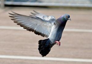 Толкование приметы - голубь ударился в окно и улетел.