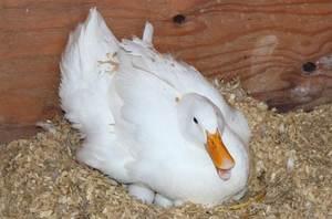 Как приучить утку высиживает яйца