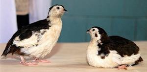 Смокинговые перепела - интересные птицы