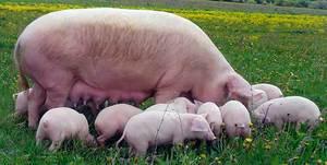 Свиноматка Landrace с поросятами - фото