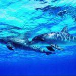 К чему по соннику снятся дельфины в воде