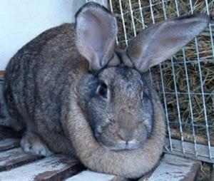 Серый кролик великан