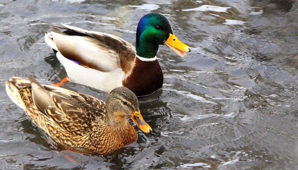 На фото типичные представители вида – селезень и утка.