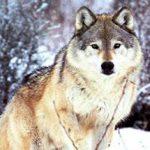 К чему по соннику снятся волки