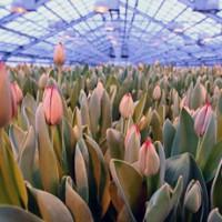 Как заработать на выращивании тюльпанов?